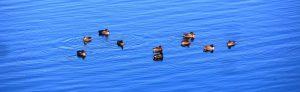 ten-ducks-long
